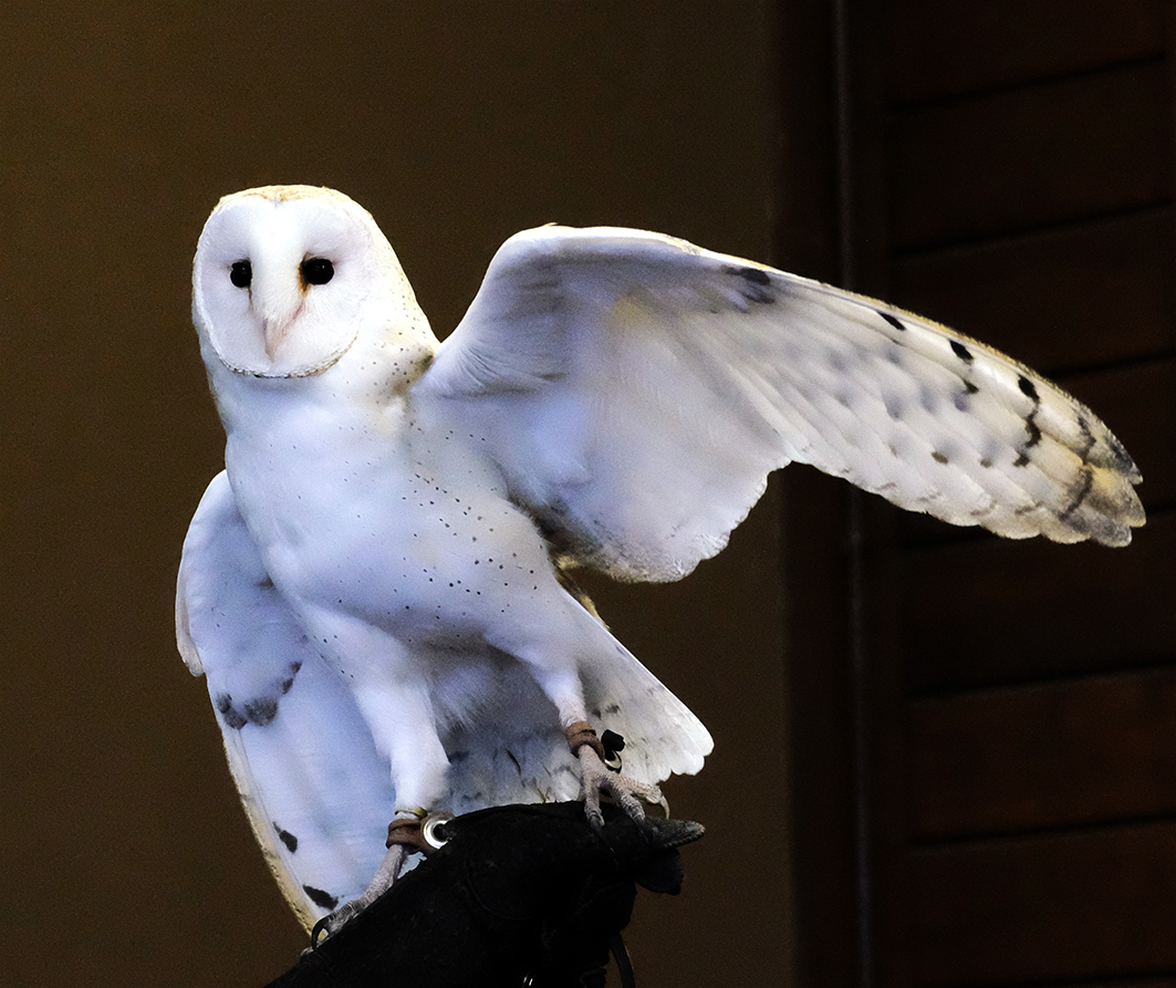domesticated barn owl