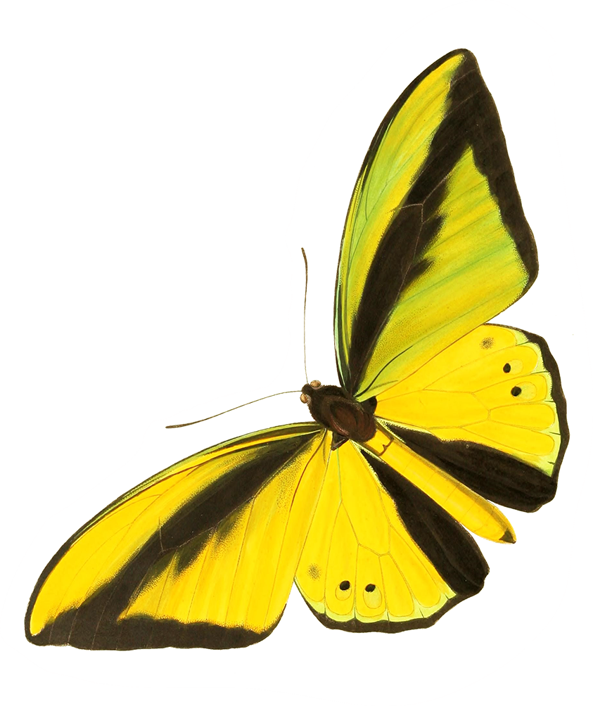 drawing cut-out yellow butterfly