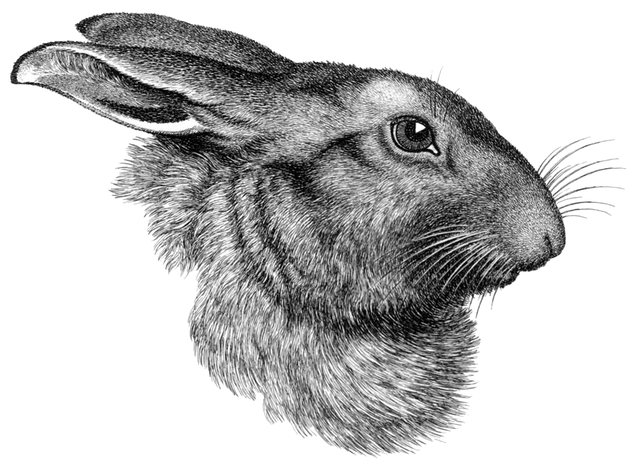 drawing of hare head