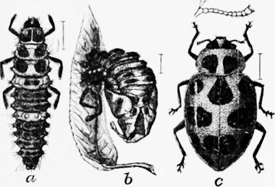 old drawing ladybug larvae pupa