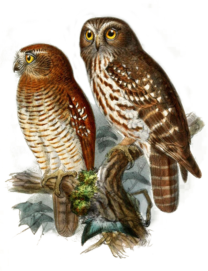 Moluccan owl drawing
