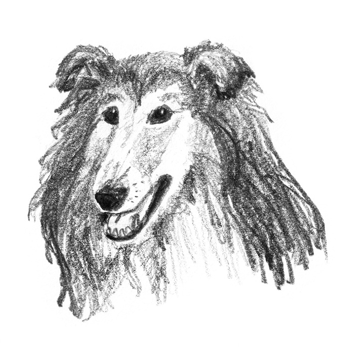 drawing of Rough Collie