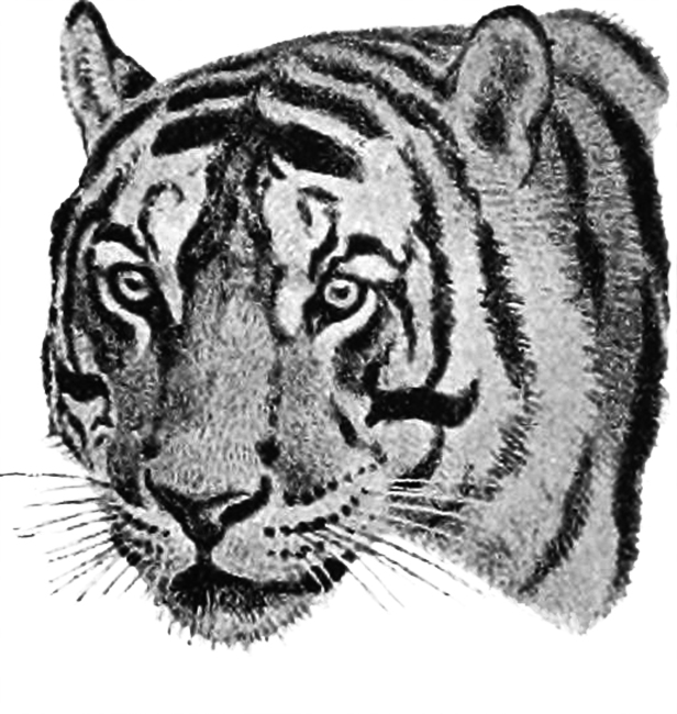 drawing of tiger head