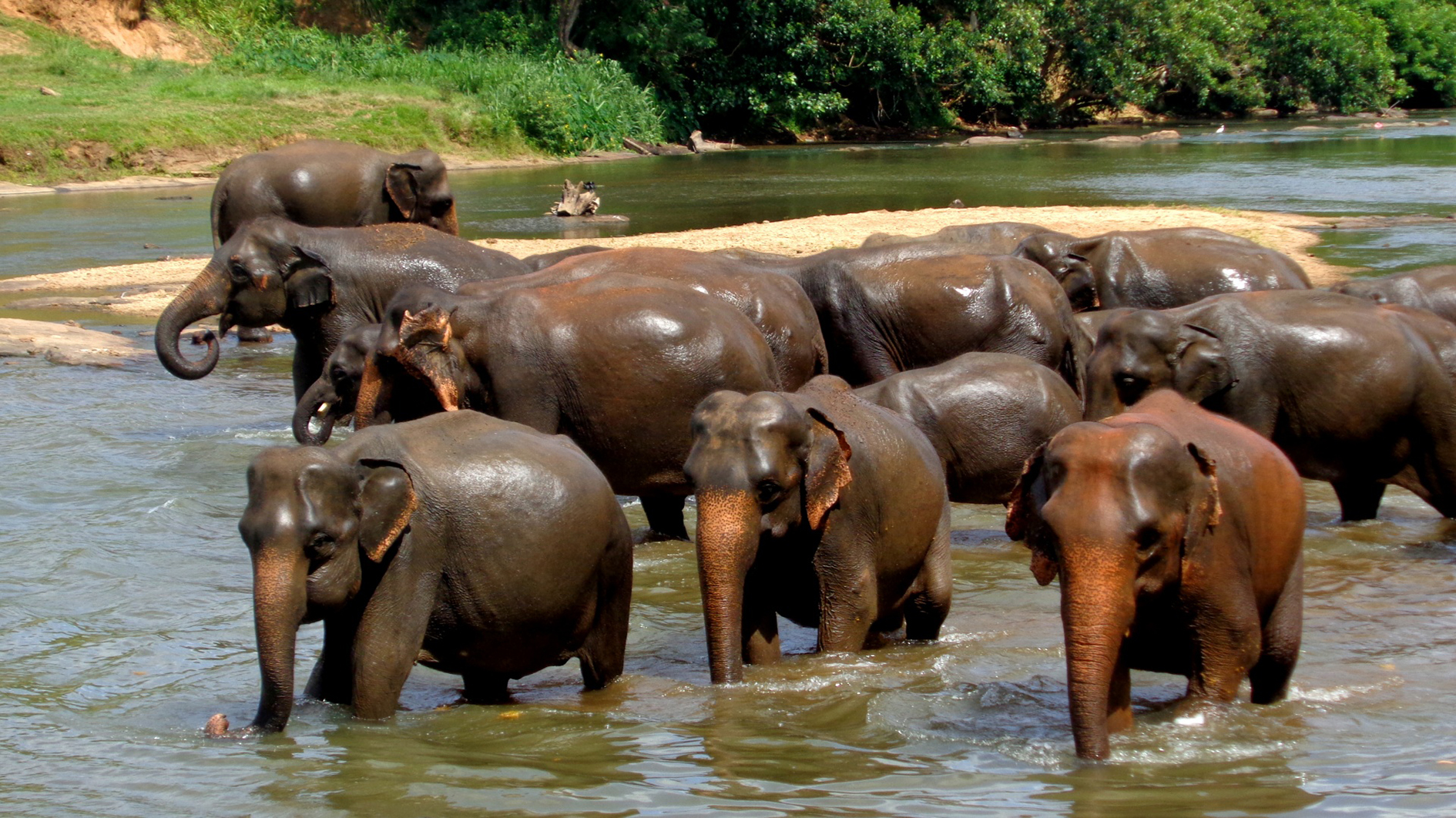 elephant herd bathing