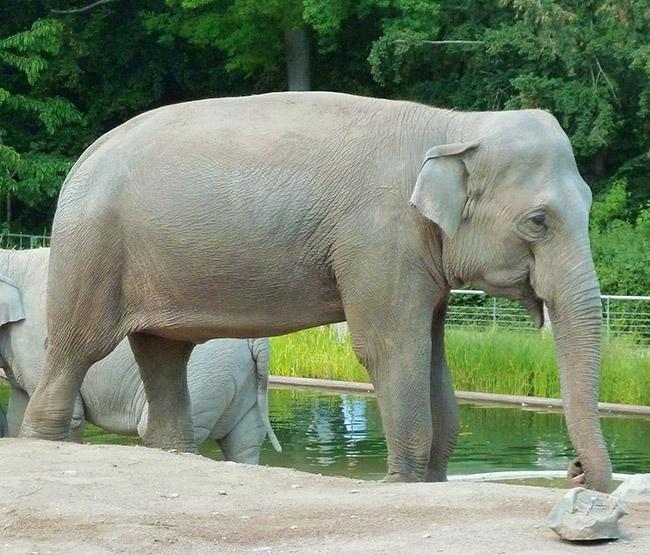 Female Asian-elephant