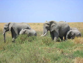 elephant pictures african elephants family