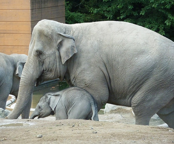Asian elephant with baby elephant in zoo