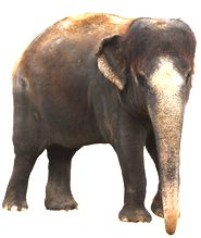 Indian elephant pictures