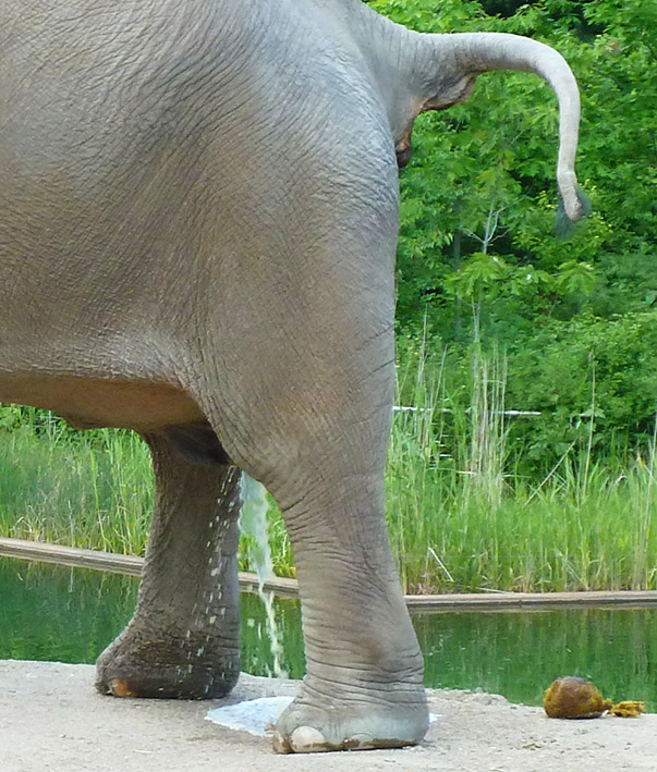 elephant peeing and close up of tail