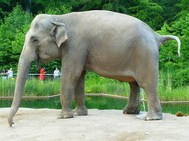 elephant peeing and shitting
