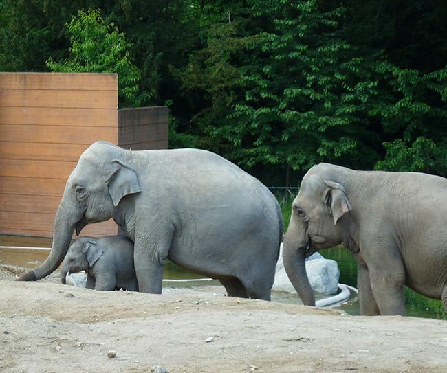 Female elephants and baby