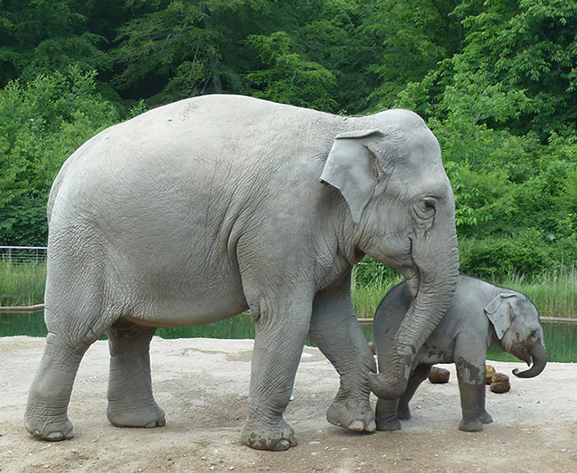 Asian elephant mother and child