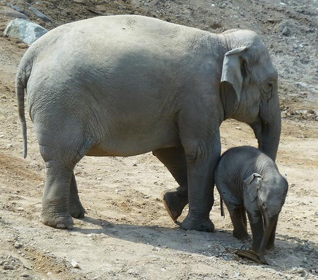 Asian female elephant nursing young one