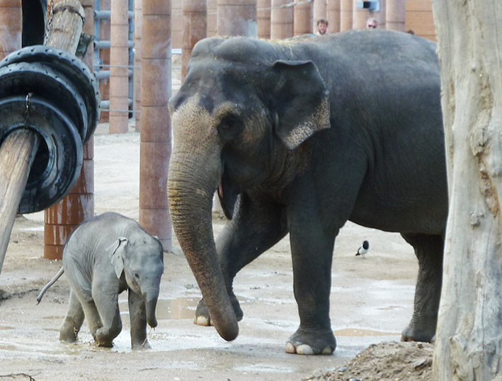 Asian elephants playing with mud