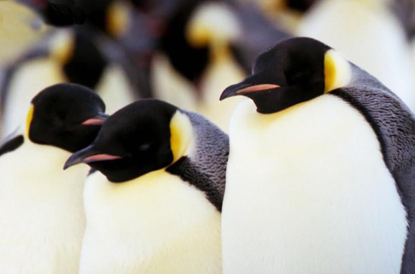 emperor penguins picture