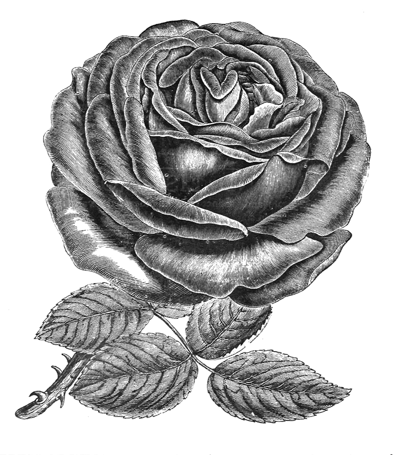 Empress of India rose drawing