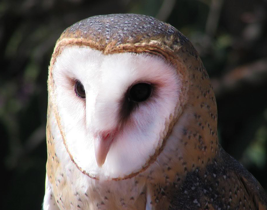 owl facts about hearing