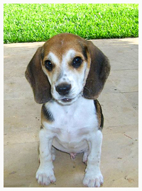 facts about dogs beagle