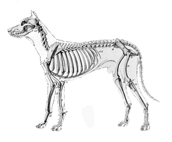 facts-about-dogs-anatomy-lateral