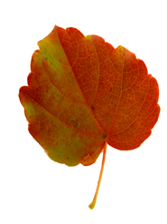 autumn clipart red green leaf