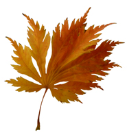 lobed leaf fall clipart