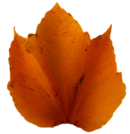 beatiful fall leaf