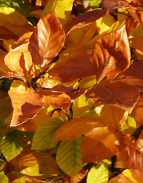 fall picture of beech leaves