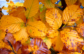 fall pictures beech leaves orange