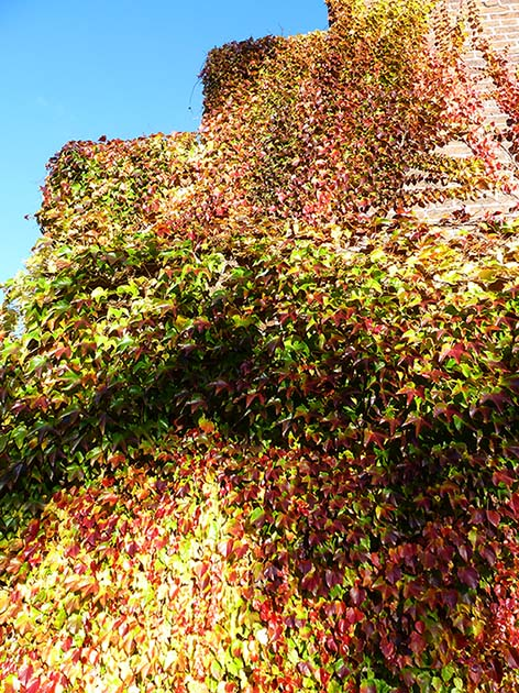 red and green wine leaves on house in fall