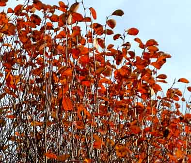 red fall leaves against the blue sky