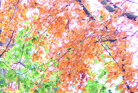 autumn scenes soft red green leaves