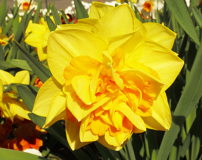 spring flowers pictures daffodil
