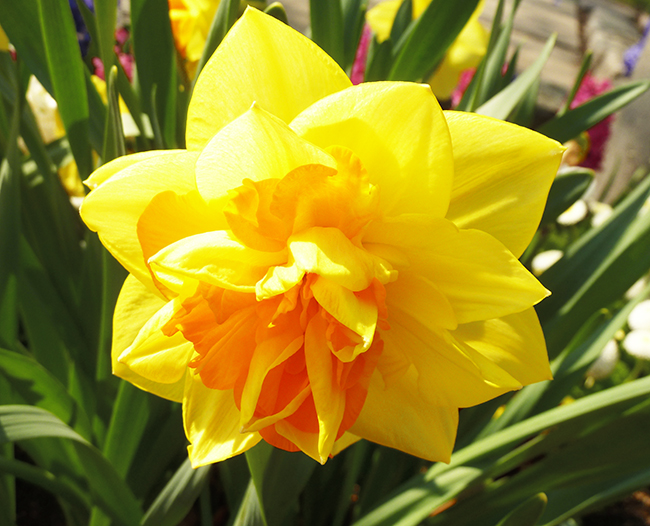 flower bloom in spring daffodil