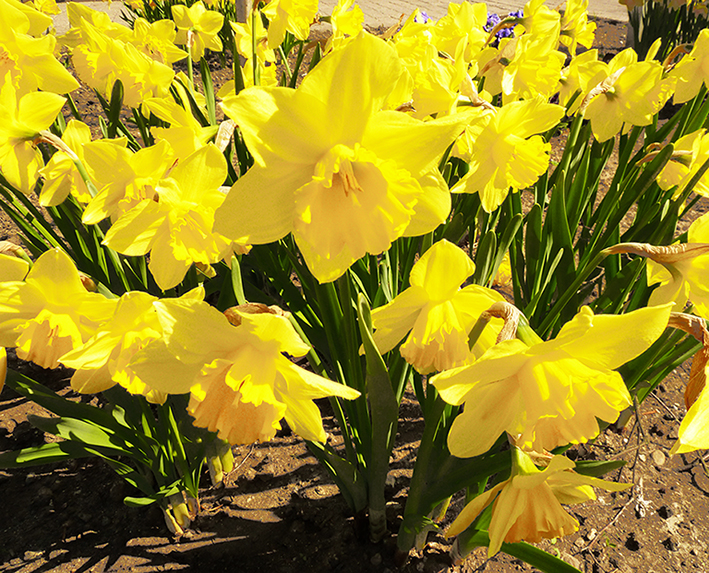 flower bloom in spring daffodils