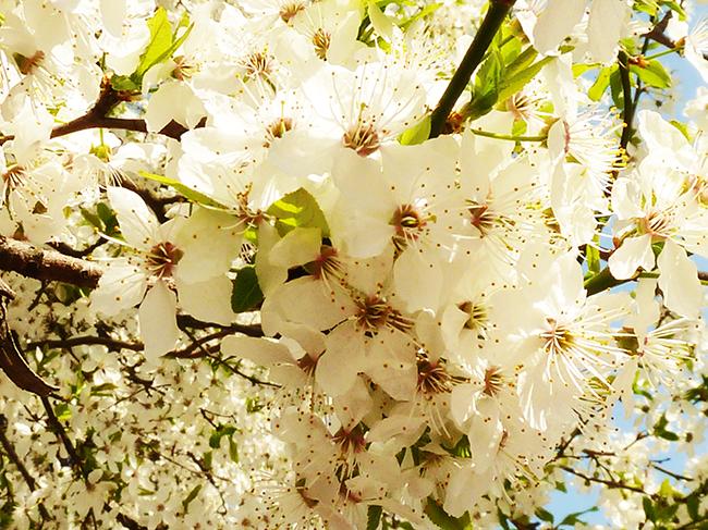 flower bloom in spring hawthorn flowers