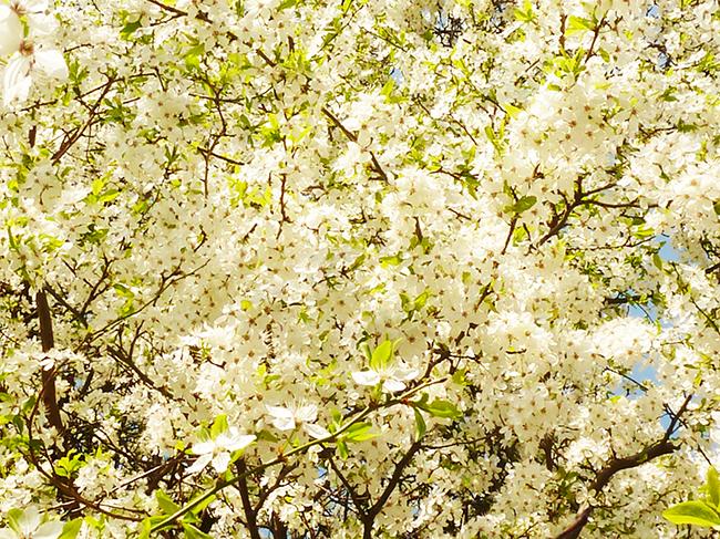 flower bloom in spring hawthorn