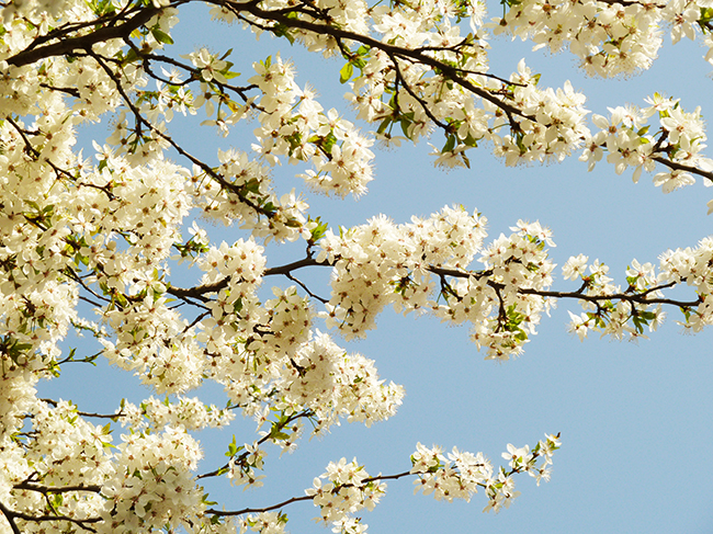 spring clipart hawthorn in bloom