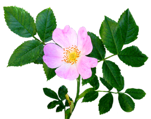flower image gallery dog rose flower