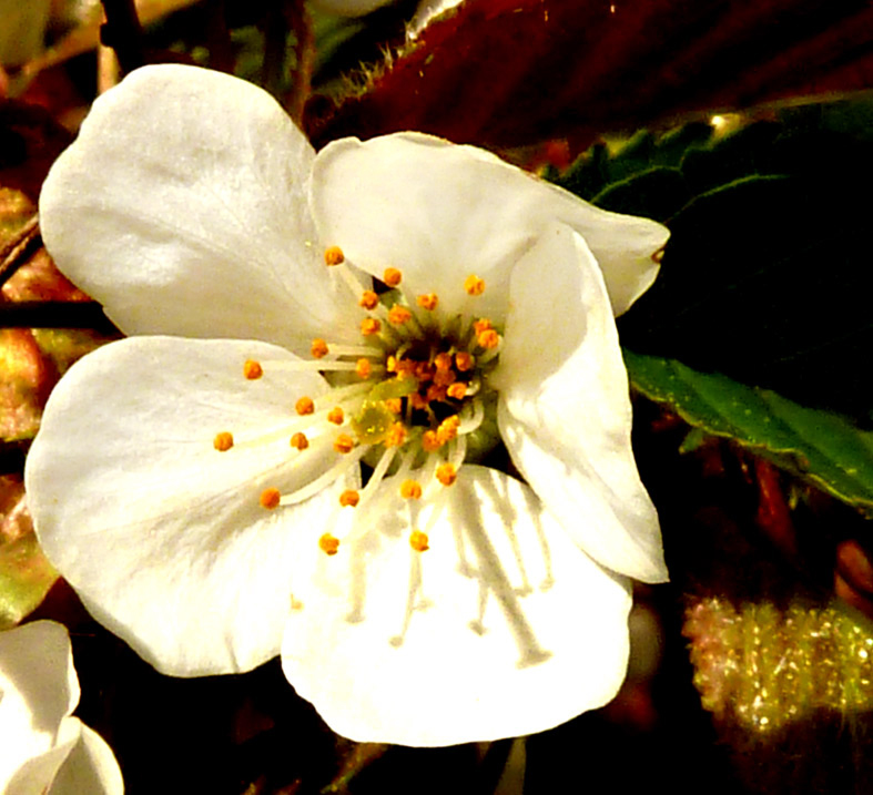 White apple flower pics