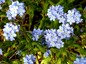 blue flowers spring flower pics