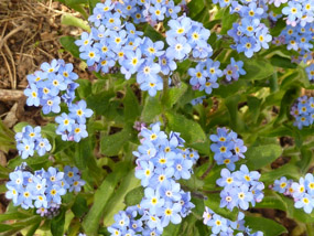flower pics blue flowers