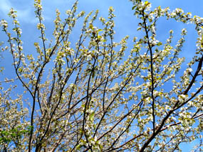 flower pics cherry tree in bloom spring