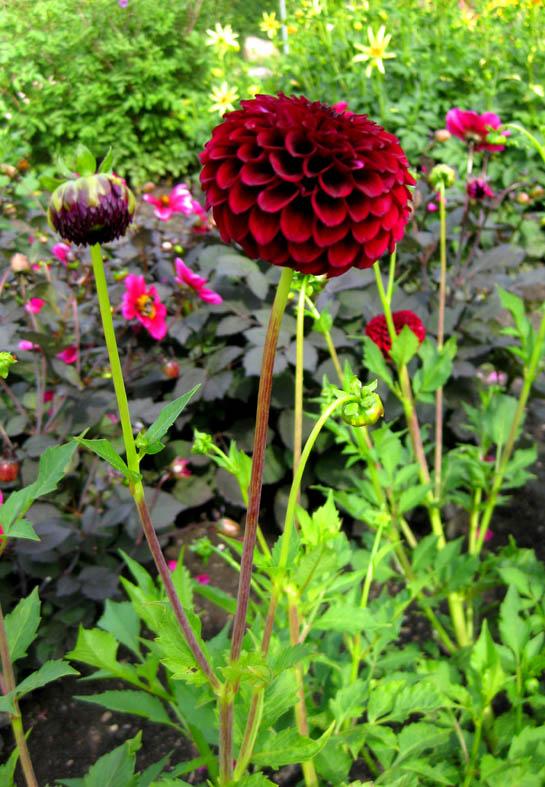 dark red dahlia flower clip art
