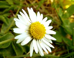 flowers clip art daisy