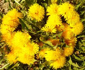 flower-pics-dandelions-summer