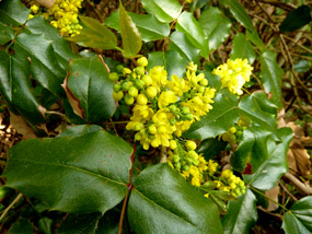 flower pics holly yellow flowers