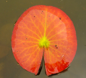 Leaf of Waterlily