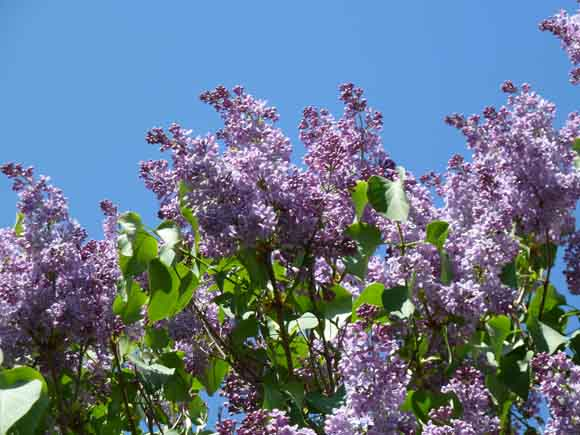 lilac tree seen against the blue sky