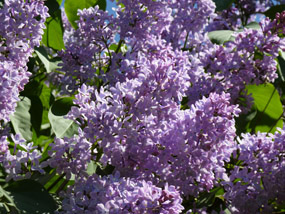 flowers clip art lilac tree spring