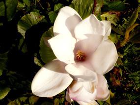 flowers clip art magnolia